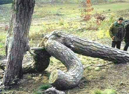 pohon_demen_ngentot.jpg